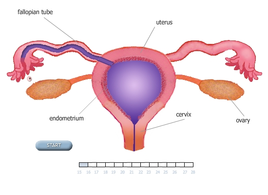 Ovulation Fertilization Pregnancy